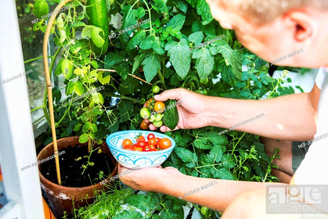 Stock Photo: Man picking tomatoes.