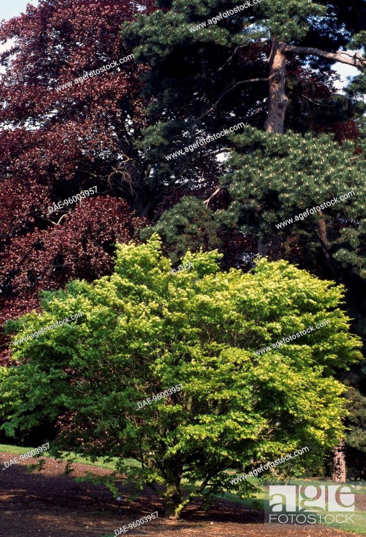 Japanese Maple Acer Palmatum Dissectum Aceraceae Sapindaceae