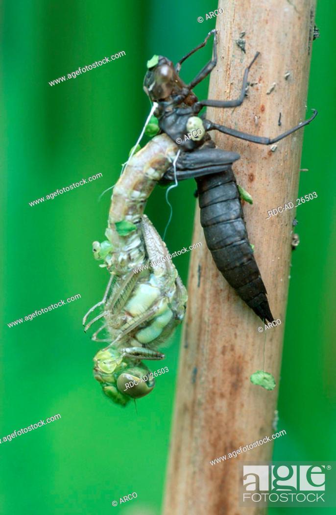 Stock Photo: Emerging larva of Emperor Dragonfly Lower Saxony Deutschland Aeshna cyanea.