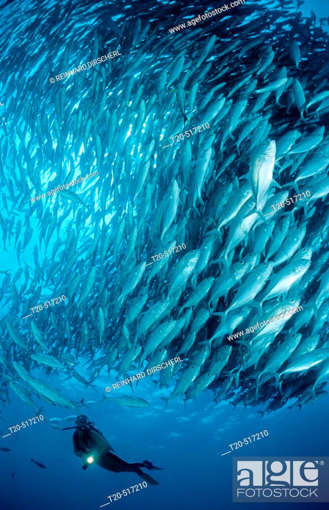 Stock Photo: Bigeye trevally and scuba diver, Caranx sexfasciatus. Great Barrier Reef. Pacific Ocean, Australia.