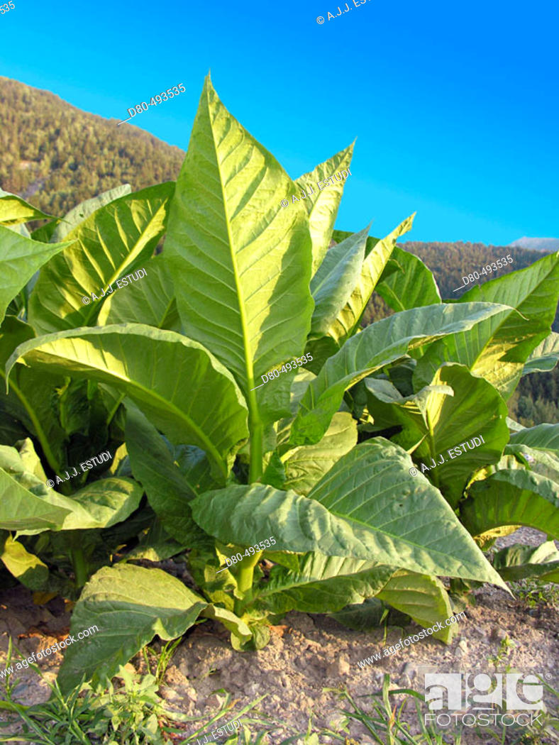 Stock Photo: Tobacco plant.