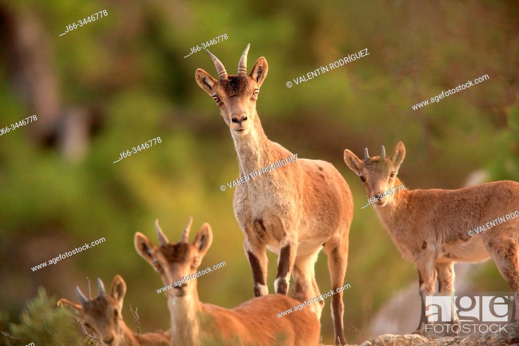 Stock Photo: Mountain goat, females and youngs, (Capra hispanica) in the Sierra Javalambre. Teruel.