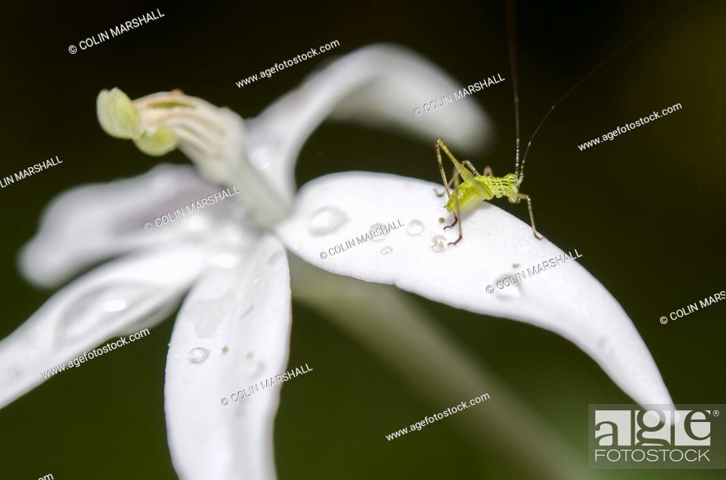 Imagen: Katydid aka Long-horned Grasshopper or Bushcricket (Tettigoniidae Family) on flower with water drops, Klungkung, Bali, Indonesia.