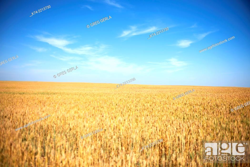 Stock Photo: Wheatfield on the Prairies.