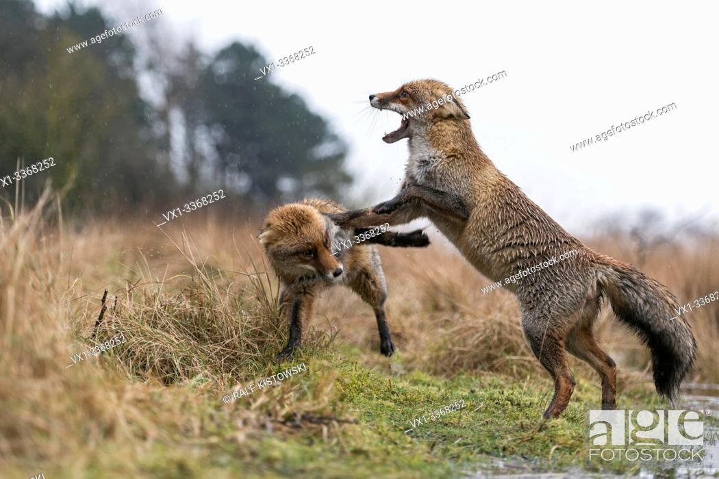 Stock Photo: Red Foxes / Rotfuechse ( Vulpes vulpes ), two adults, fighting, threatening with wide open jaws, attacking each other, rainy day, wildlife, Europe.