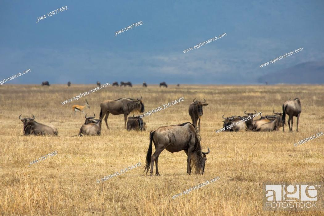 Imagen: Africa, gnu, wildebeest, Ngorongoro, Conservation area, protective area, Ngorongoro crater, travel, savanna, mammals, Tanzania, East Africa, animals, wilderness.