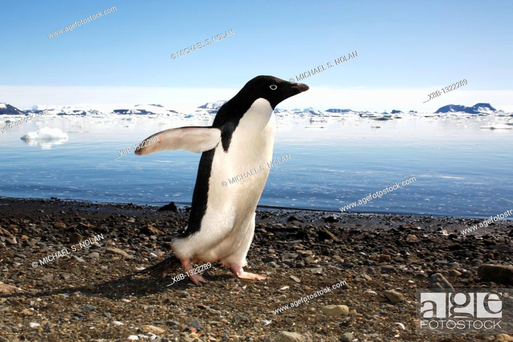 Imagen: Adult Adelie penguin Pygoscelis adeliae marching down the beach and preparing to enter the ocean on Devil Island, Antarctic Peninsula  Adelie penguins are truly.