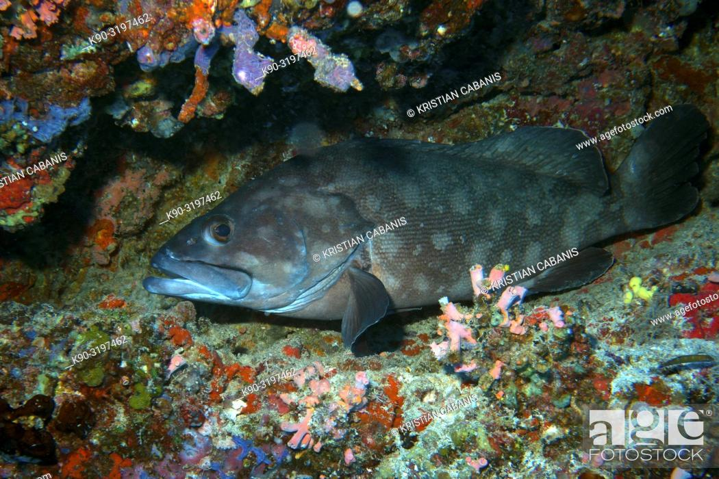 Stock Photo: Four-saddle Grouper (Epinephelus spilotoceps) laying on the ground of the reef between corals, Indian Ocean, Maledives, South Asia.