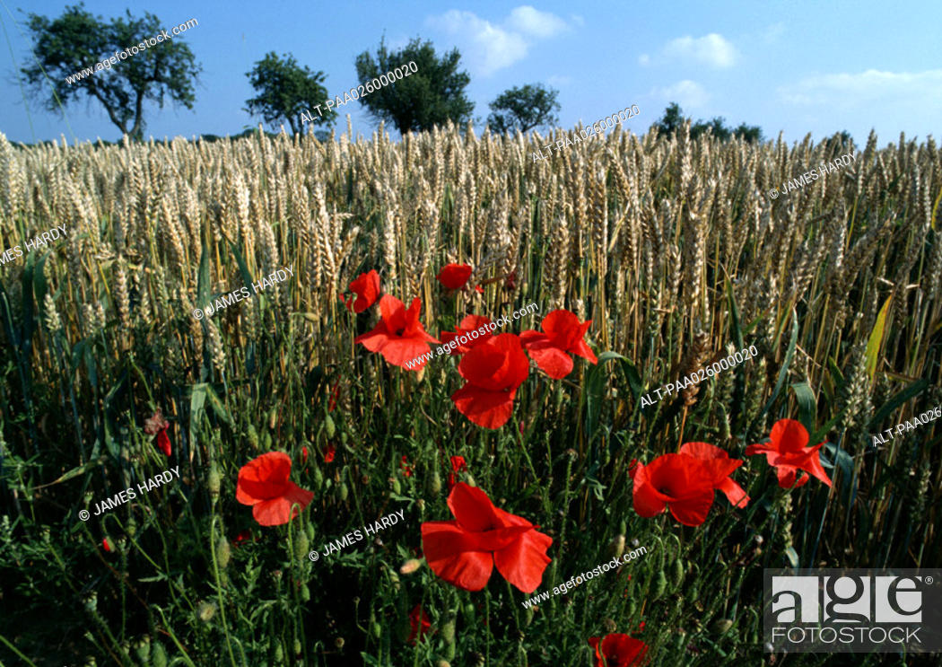 Stock Photo: France, Provence, poppies growing in crop field, close-up.