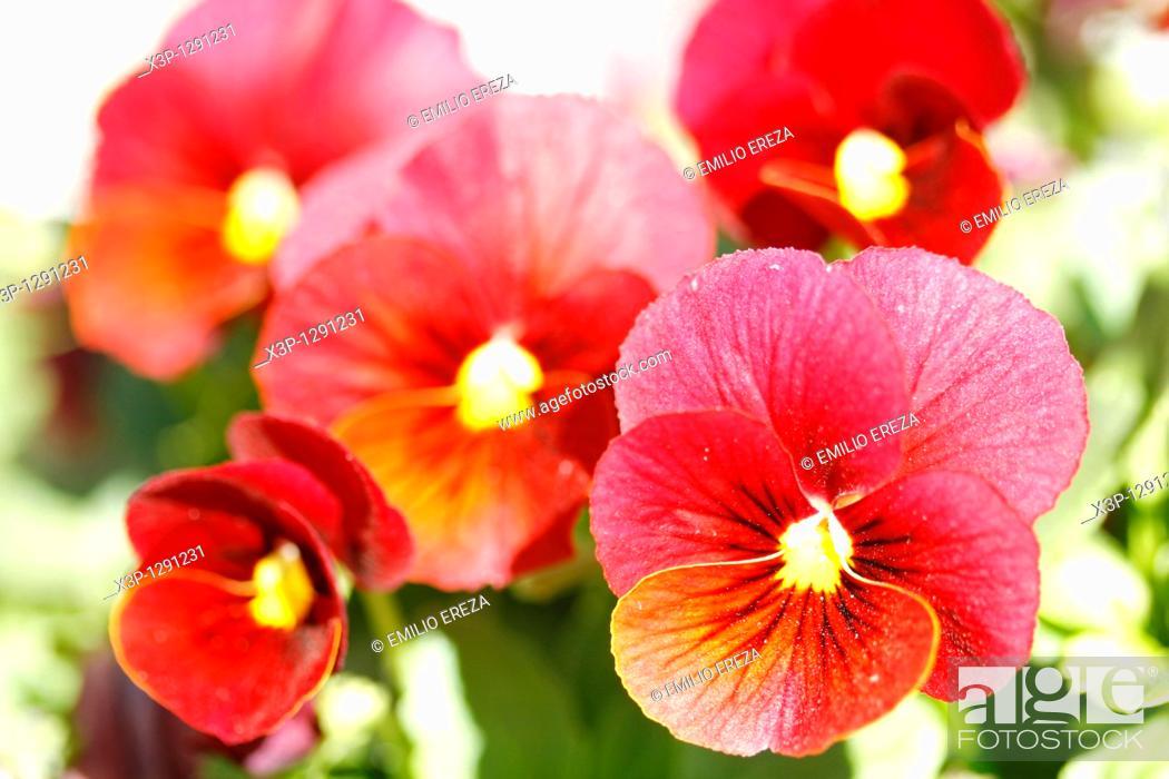 Stock Photo: Pansies (Viola tricolor).