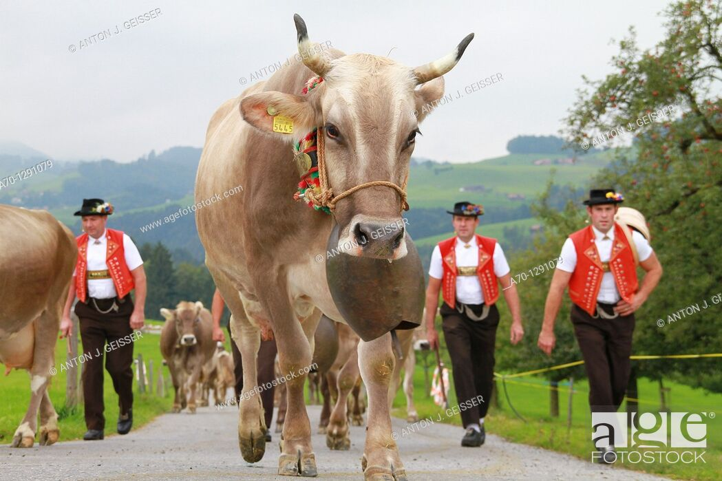 Stock Photo: Appenzell, switzerland, people in traditional costume herding cows.