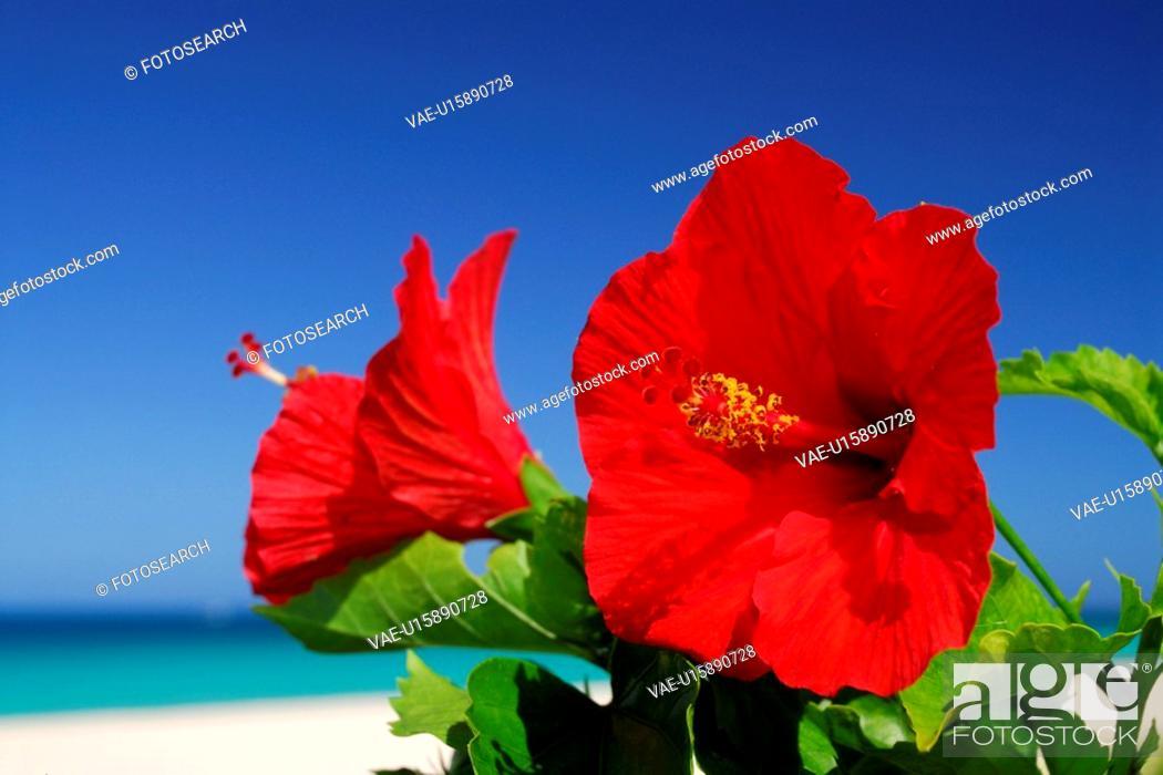 Stock Photo: Hibiscus.
