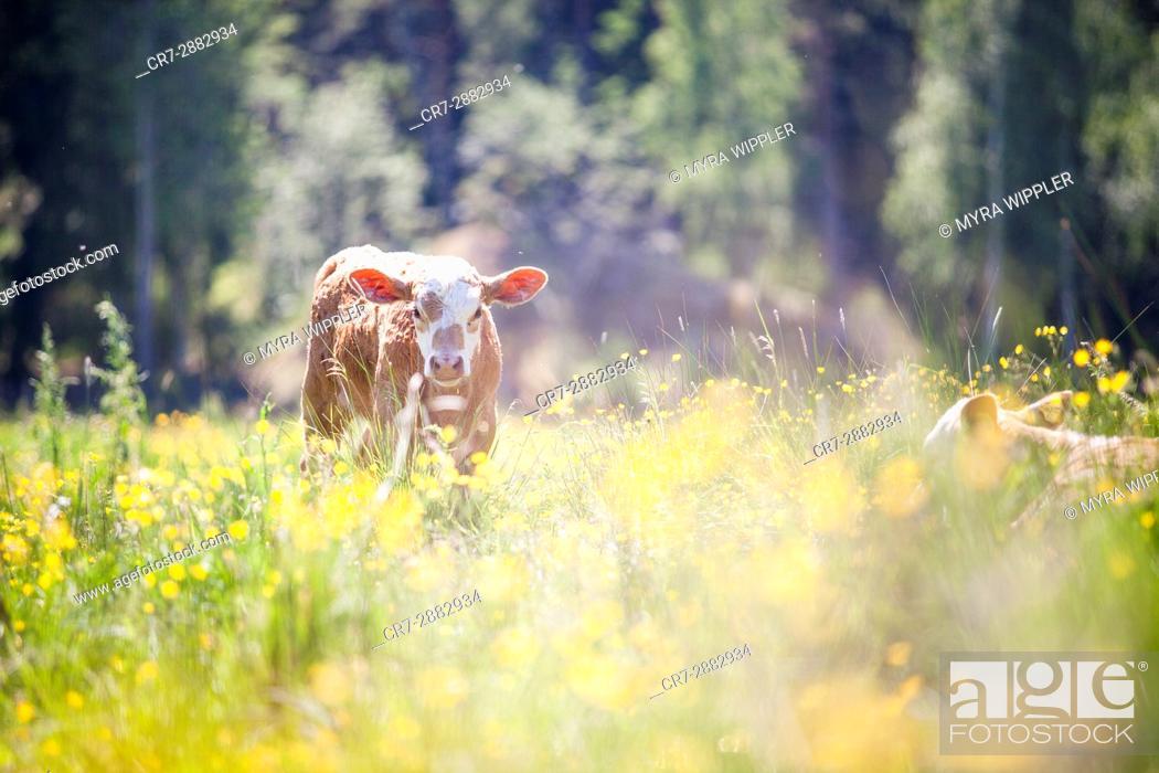 Stock Photo: Swedish cows enjoying the summer.
