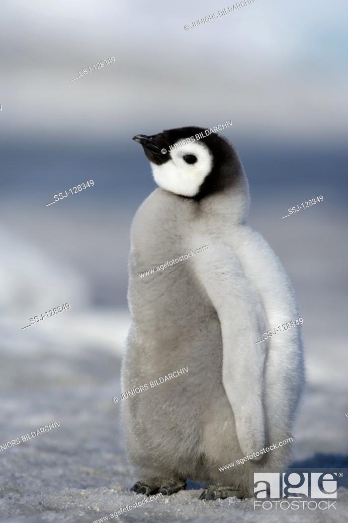 Stock Photo: emperor penguin - cub - Aptenodytes forsteri.