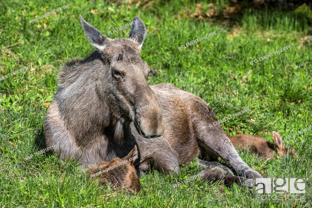 Stock Photo: Moose (Alces alces) female / cow with two calves resting in grassland at forest edge.