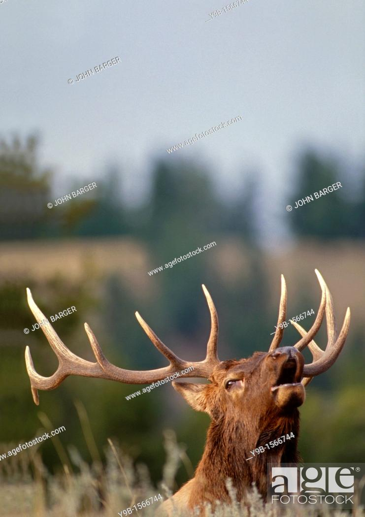 Stock Photo: ROCKY MOUNTAIN ELK Cervus canadensis nelsonii bull bugling in fall, Yellowstone National Park, Wyoming, USA.