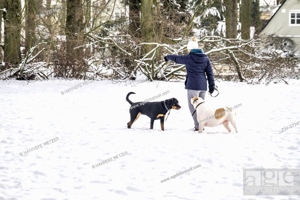 Imagen: Woman with two dogs in the snow, The Netherlands, Europe.