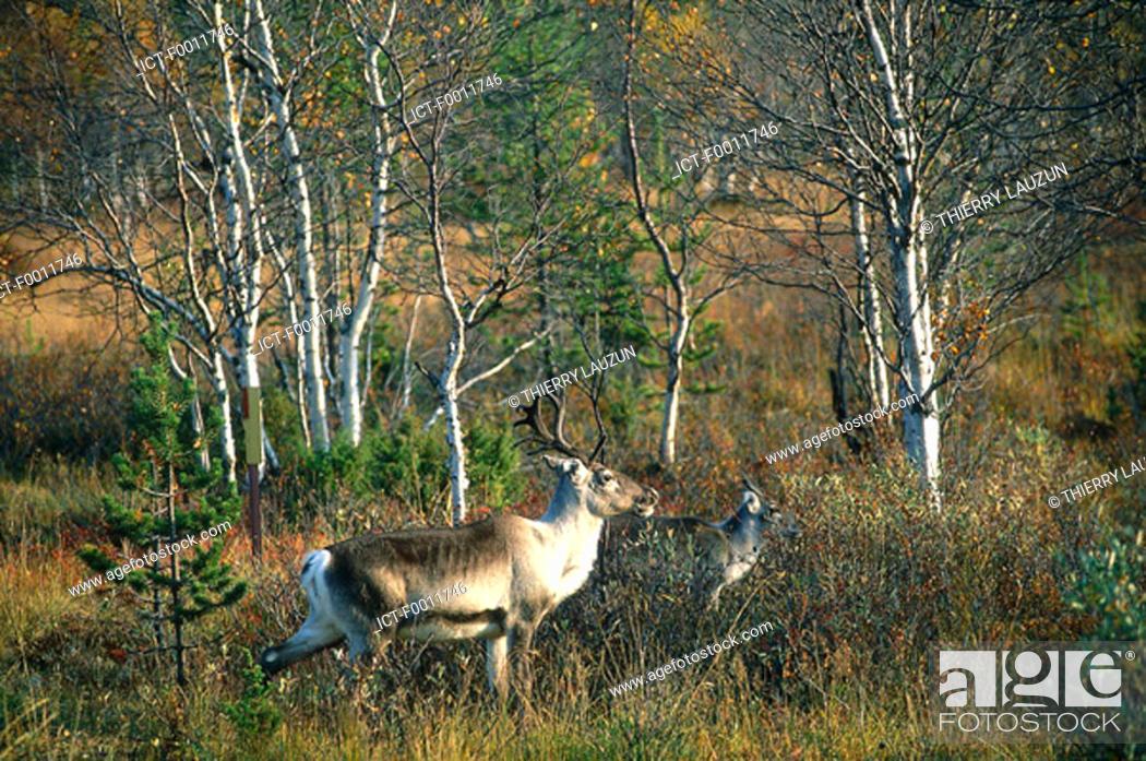 Stock Photo: Finland, Lapland, Saariseka vicinity, reindeers.