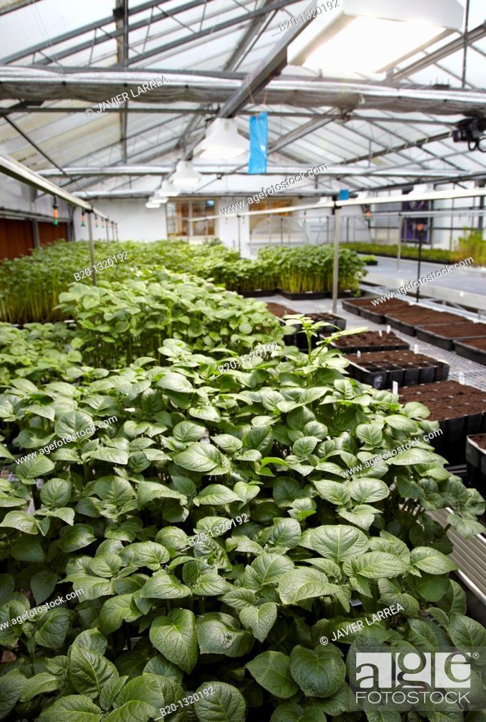 Stock Photo: Greenhouse, agricultural research, potato plants, Neiker-Tecnalia, Arkaute, Alava, Euskadi, Spain.