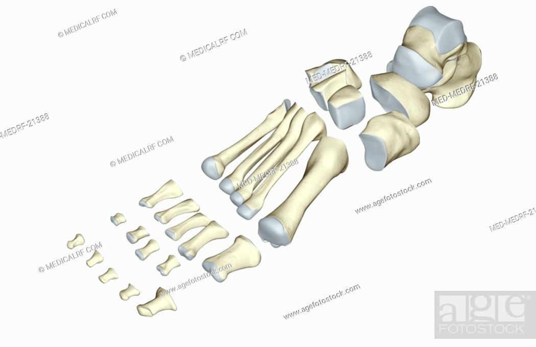 Stock Photo: The bones of the foot.