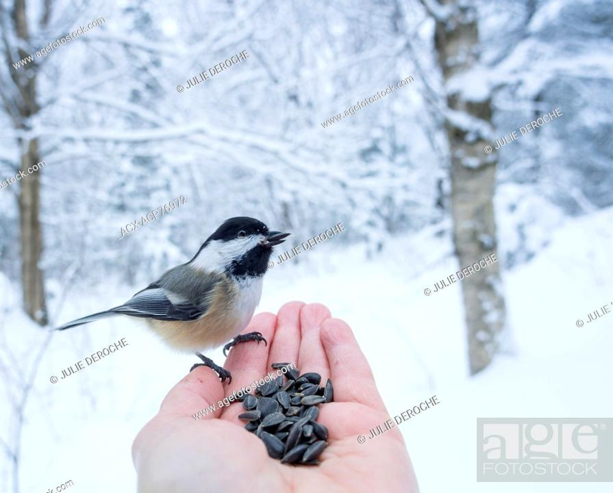 Stock Photo: Black-capped Chickadee (Poecile atricapillus) is a small, nonmigratory, North American songbird, Hand Feeding.