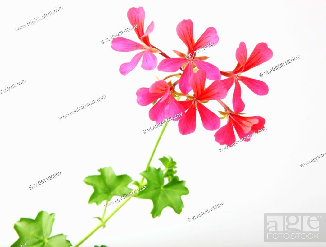 Stock Photo: Geranium Pelargonium Flowers Isolated On White Background.