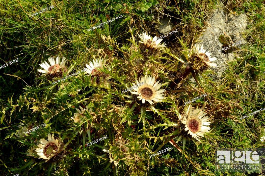 Distel pflanze