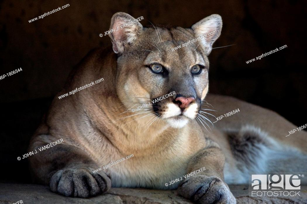 Stock Photo: A Cougar, Puma concolor, peering from rock outcrop  Bergen County Zoo, Paramus, New Jersey, USA.