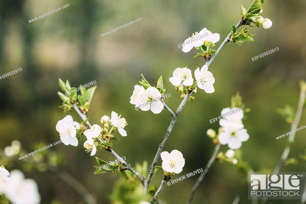 Stock Photo: White Young Spring Flowers Growing In Branch Of Tree in Forest.