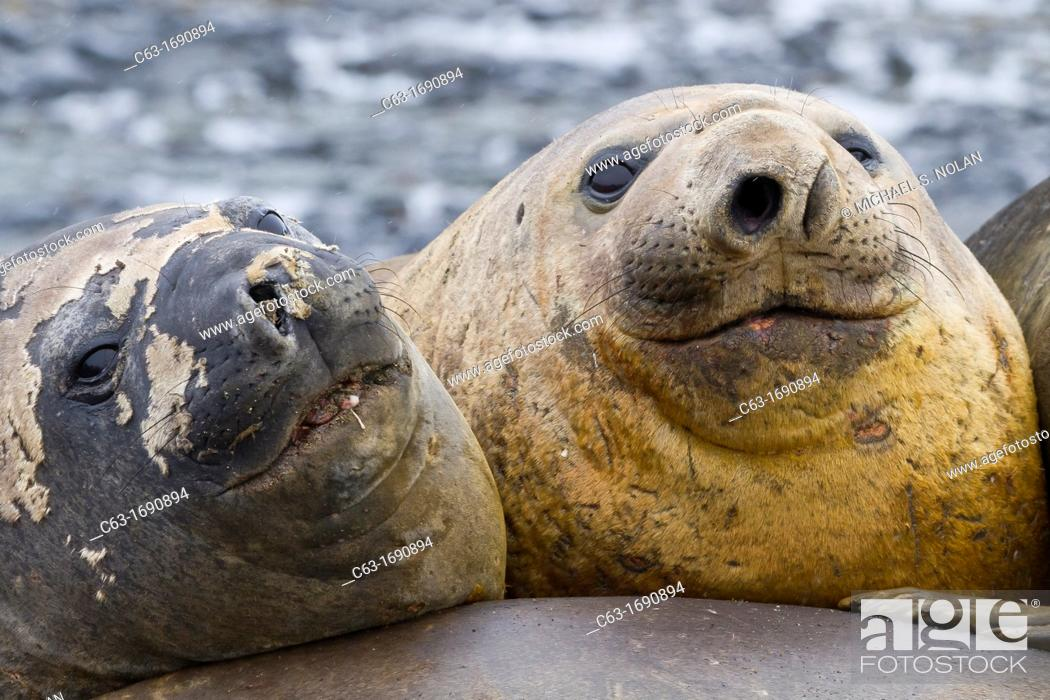 Imagen: Southern elephant seals Mirounga leonina hauled out for their annual catastrophic molt on the beach at Snow Island, Antarctica.