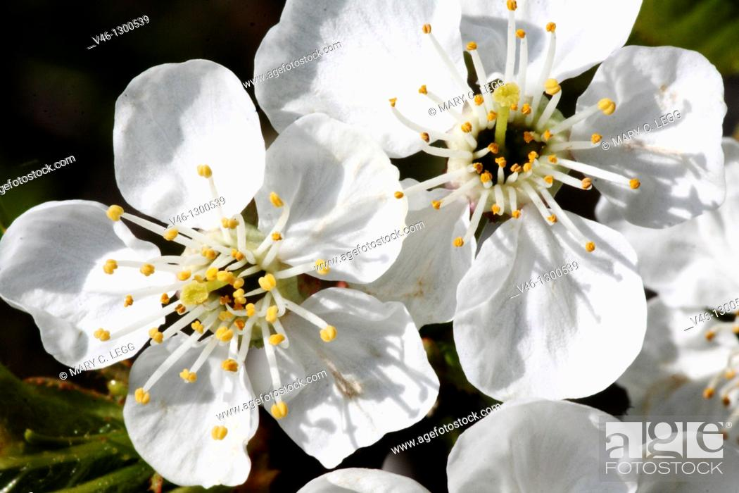 Stock Photo: Two fresh apple blossoms on a twig  Close-up  Macro  Open  Blossom with detailed stamens  White  Small cluster against dark background.