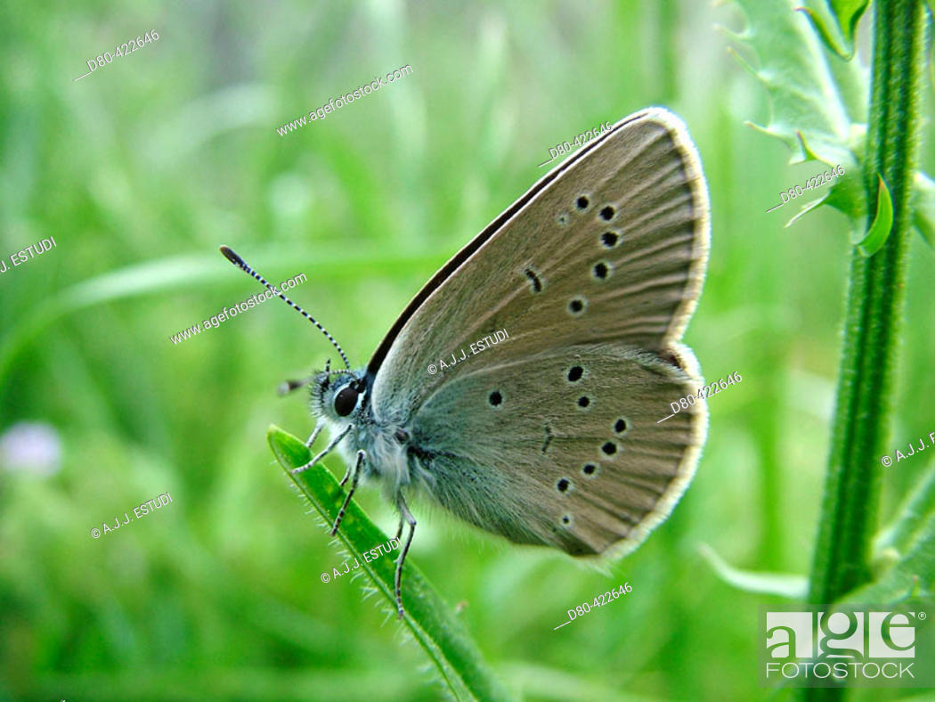 Stock Photo: Lepidopteran (Maculinea teleius).