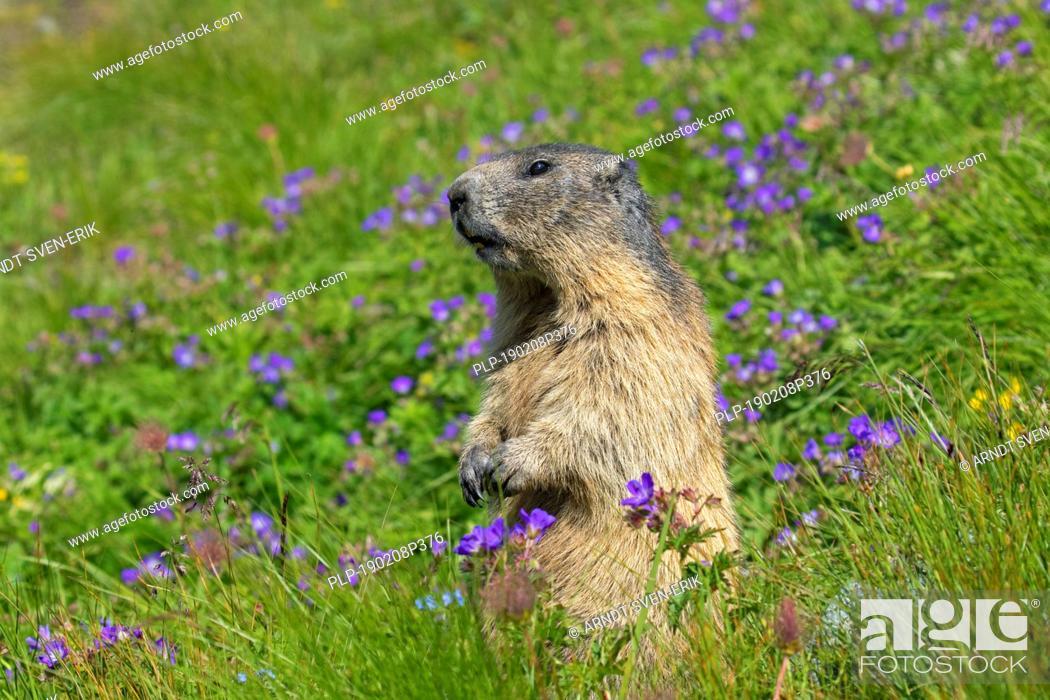Stock Photo: Alarmed Alpine marmot (Marmota marmota) standing upright among wildflowers in Alpine pasture, Hohe Tauern National Park, Carinthia, Austria.