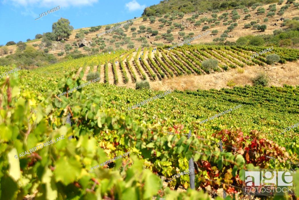 Stock Photo: Grape Fields at the Symington States, Pinhao,  Duoro Valley, Duoro, Portugal.