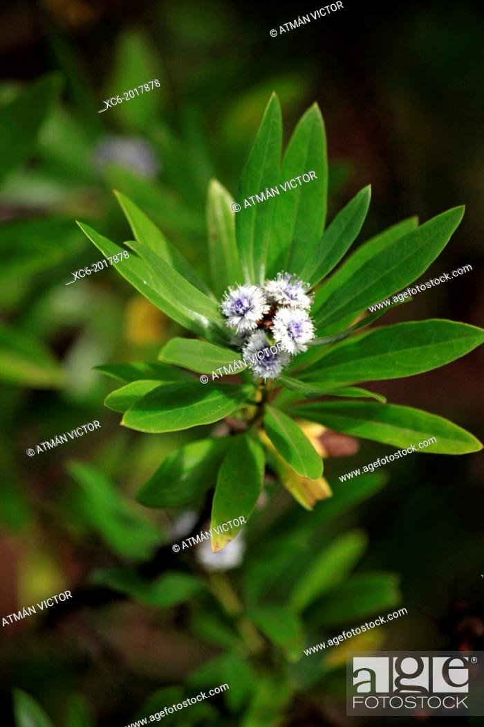 Stock Photo: Cestrum diurnum . endemic plant in mount anaga forests . Tenerife island . Spain.