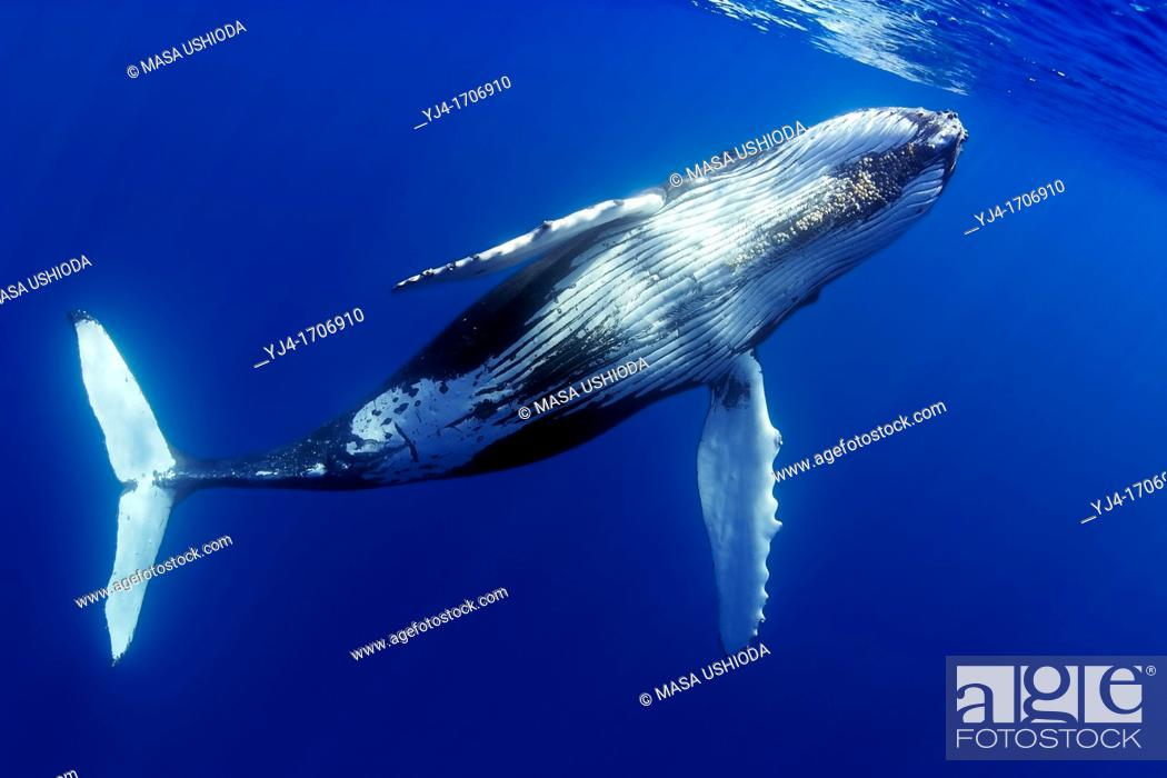 Stock Photo: humpback whale, Megaptera novaeangliae, offshore, Hawaii, USA, Pacific Ocean.