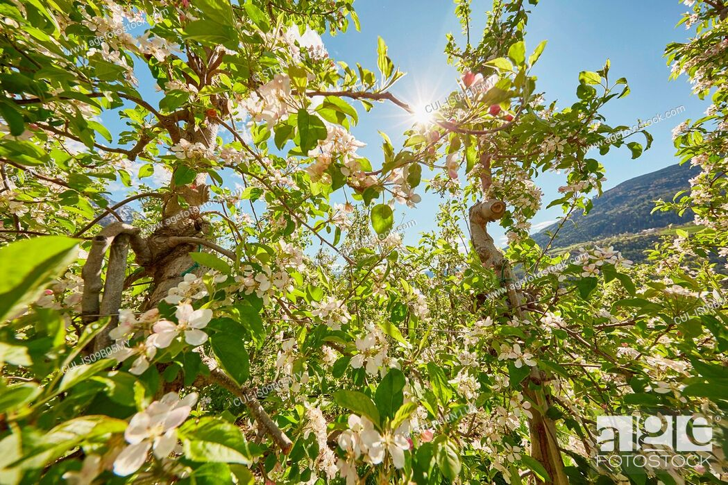 Stock Photo: Apple trees in flower, Meran, South Tyrol, Italy.