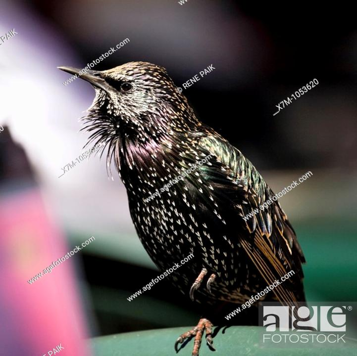 Stock Photo: European Starling perched, and singing, on a chair in an al fresco restaurant on the Santa Cruz Beach Boardwalk.