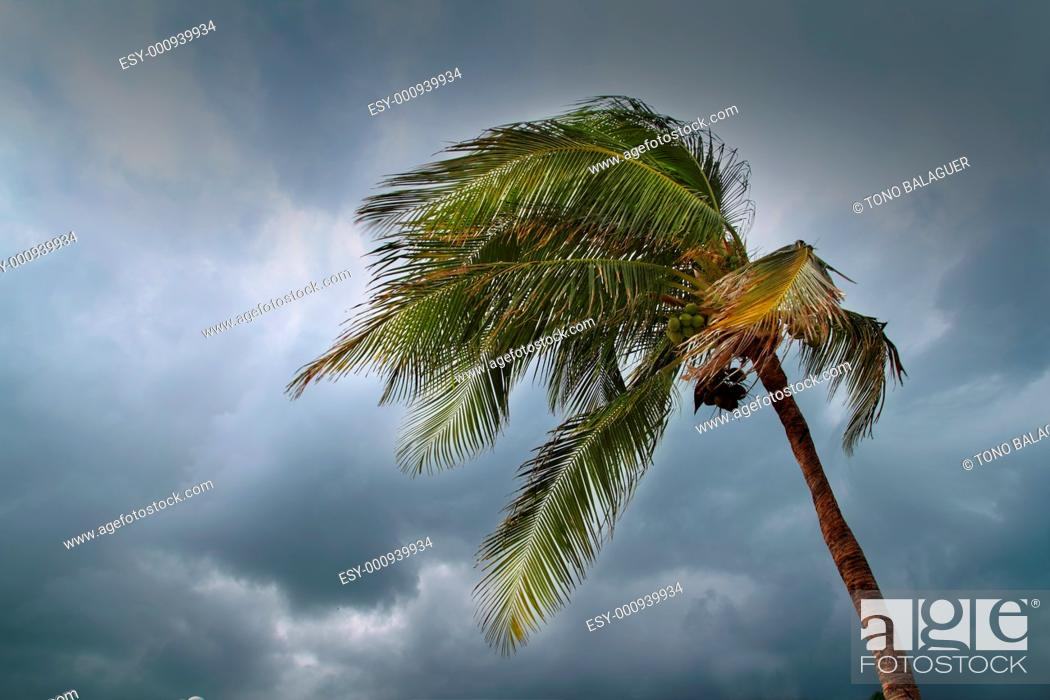 Stock Photo: hurricane tropical storm coconut palm tree leaves cloudy gray sky.