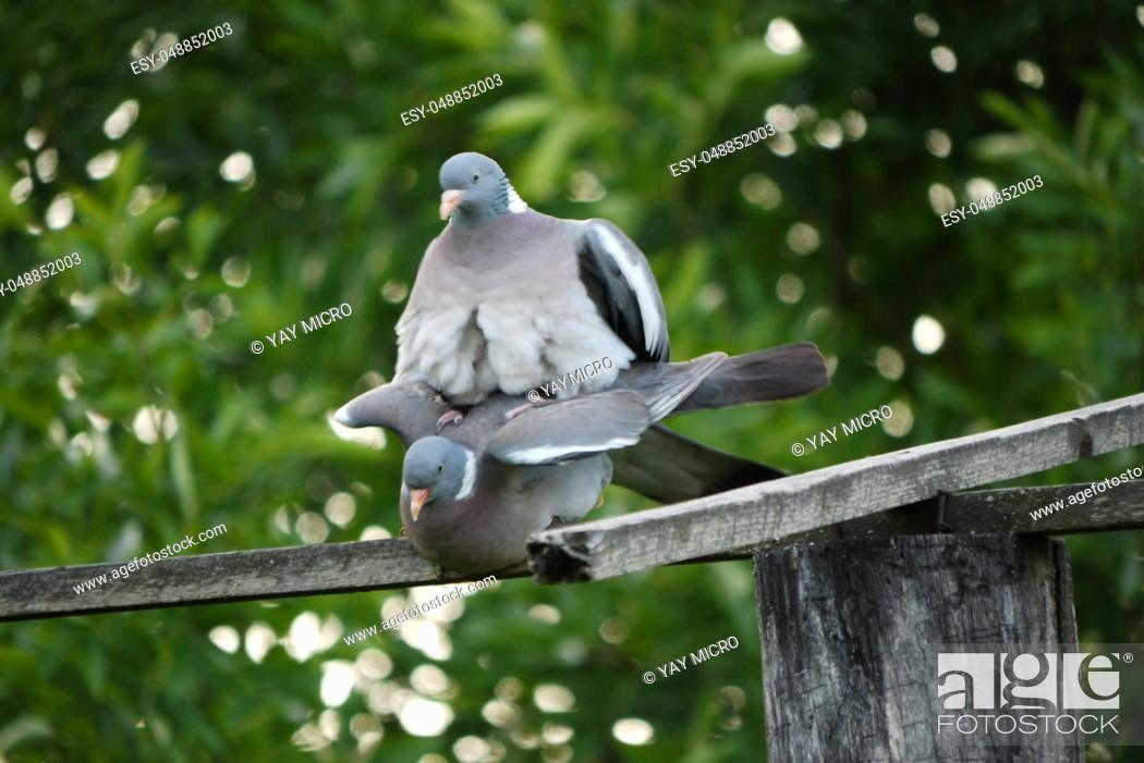Stock Photo: two pigeons steaming on a wooden translated into the background of greenery in the park.