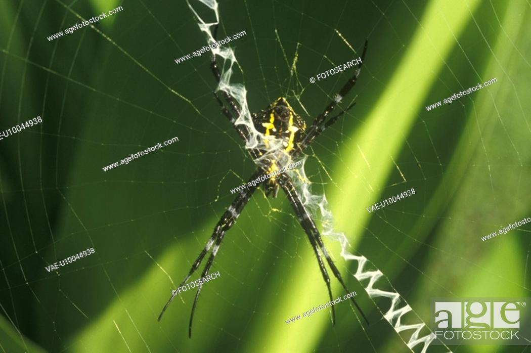 Stock Photo: Spider in Web.
