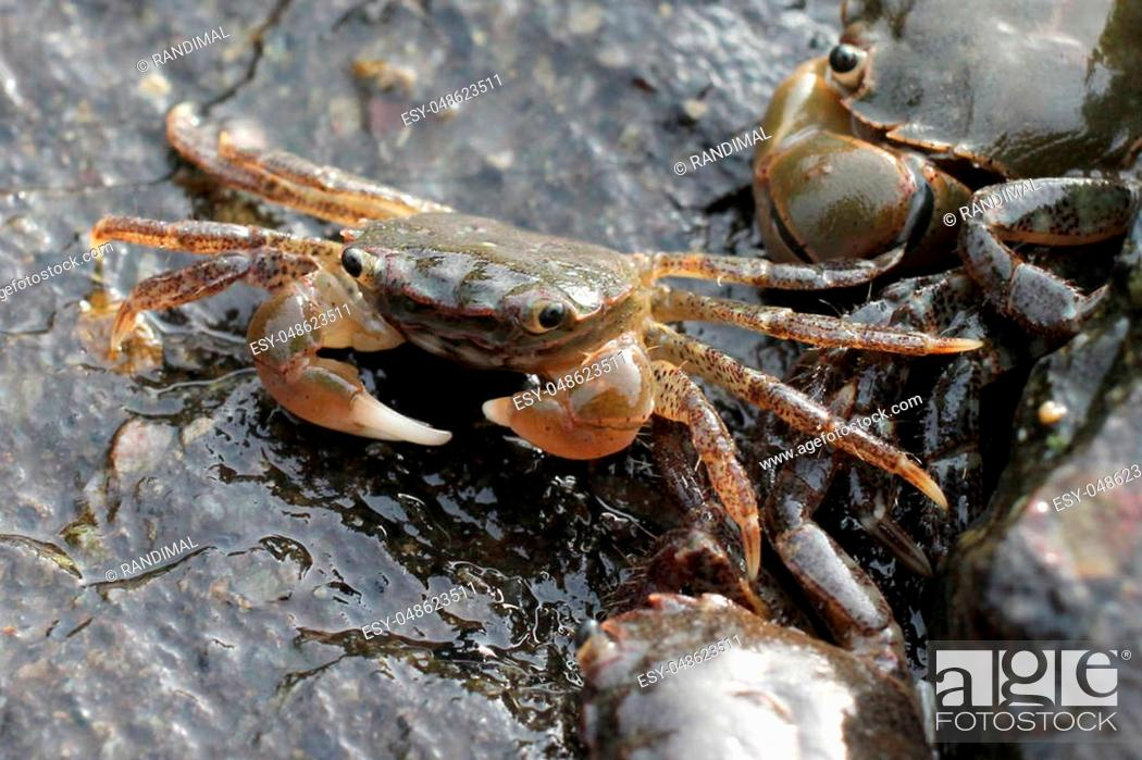 Stock Photo: Green Shore Crabs - Hemigrapsus oregonensis.