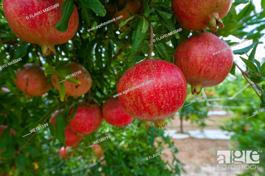Stock Photo: In the last ten years the Pomegranates cultivation in South Apulia had a great rise.