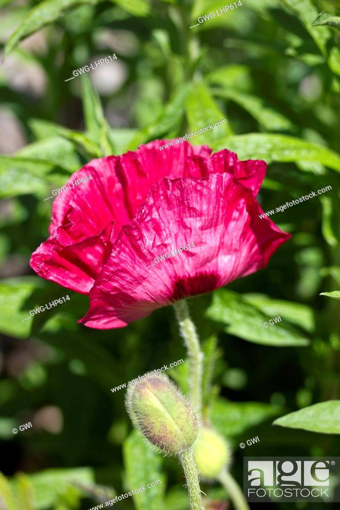 Stock Photo: PAPAVER ORIENTALE 'MARLENE'.