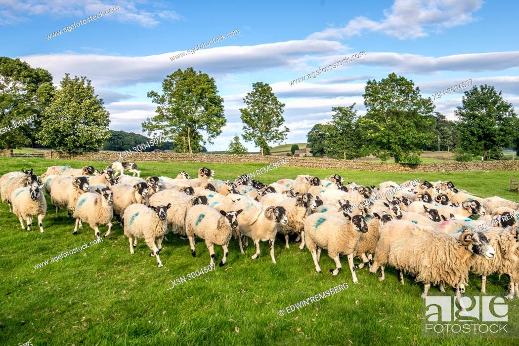 Stock Photo: Flock of sheep quickly race together, Yorkshire Dales, UK.
