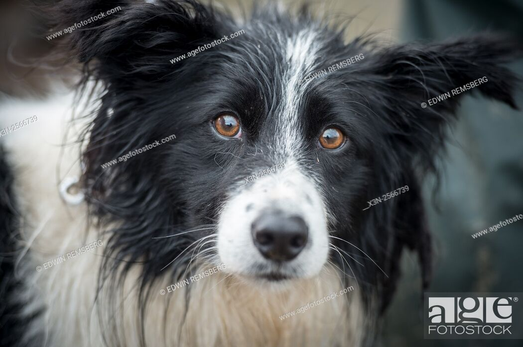 Stock Photo: Border collie at the International Sheep Dog Trials in Moffat, Scotland, UK.