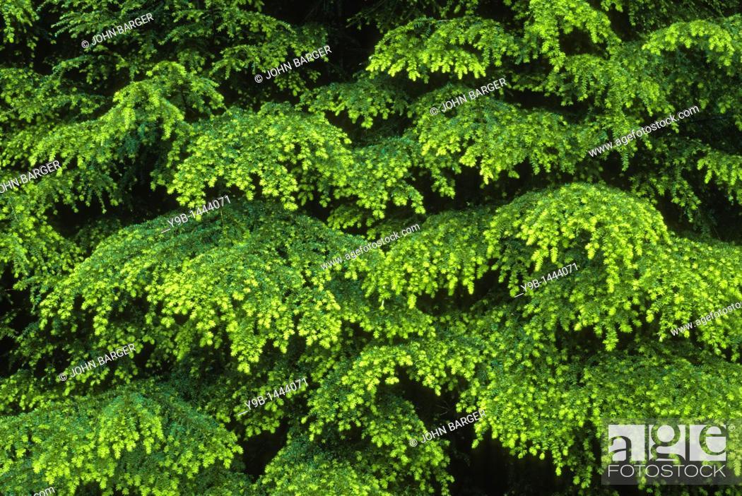 Stock Photo: Western Hemlock Tsuga heterophylla with layered boughs in spring, Soleduck Valley, Olympic National Park, Washington, USA.