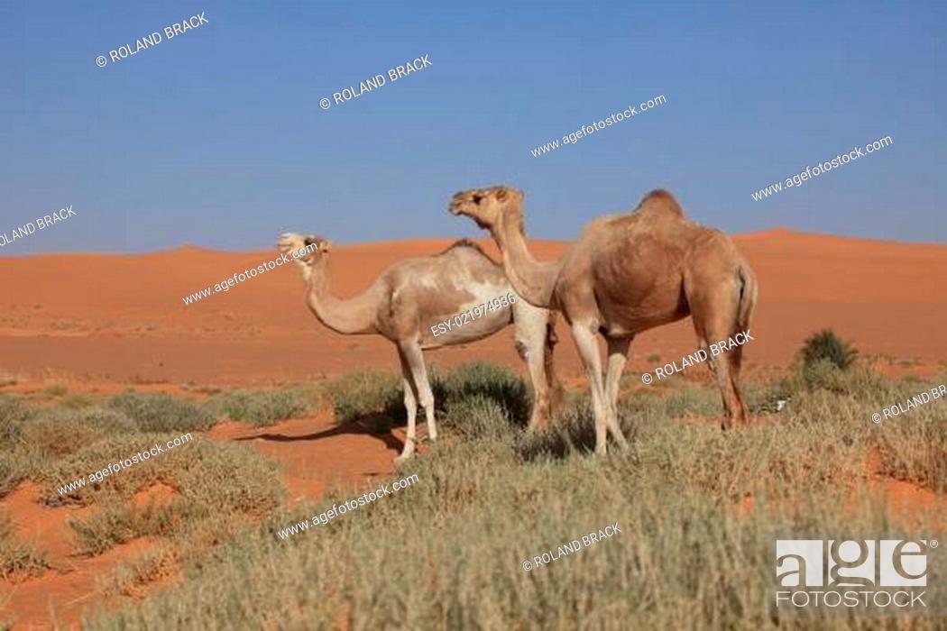 Stock Photo: Kamele der Sahara.