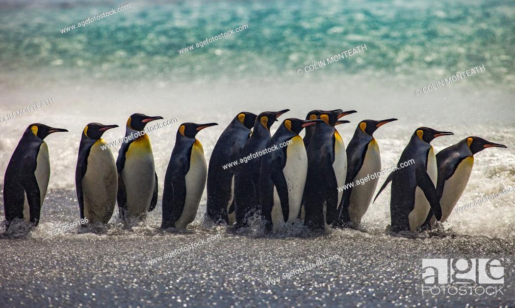 Imagen: King penguins parade along beach, Salisbury Plain, South Georgia.