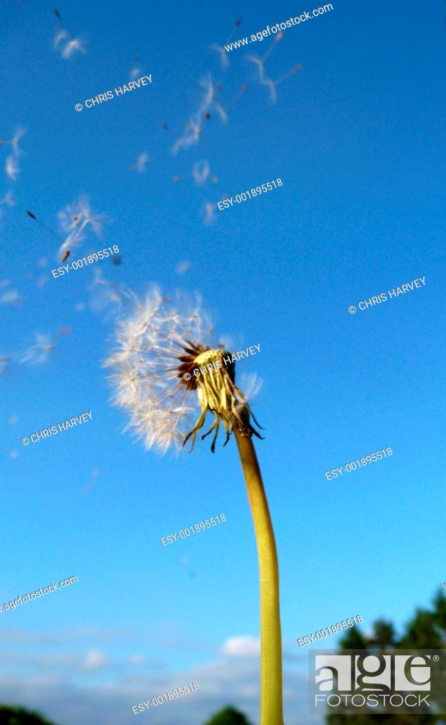 Stock Photo: Dandelion Clock.